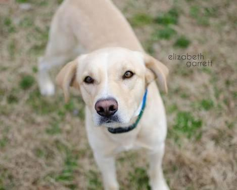 Retriever - Marshall - Medium - Adult - Male - Dog