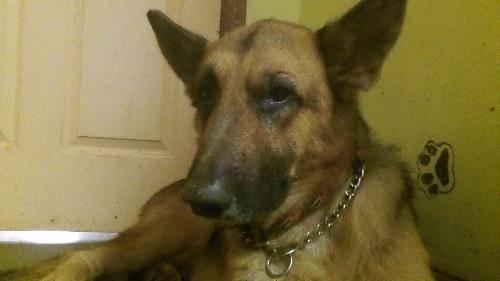 Shepherd - Aries - Large - Adult - Male - Dog