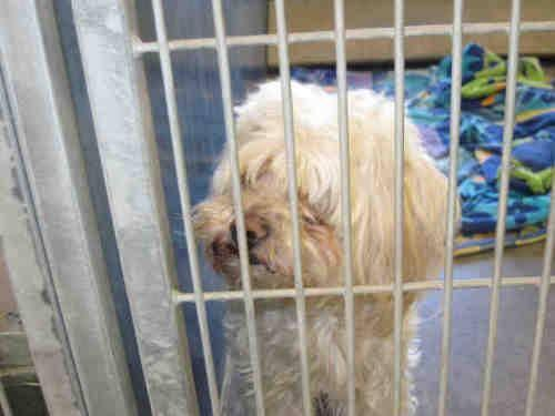 Poodle - A3239371 - Medium - Adult - Male - Dog