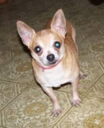 Chihuahua - A3245211 - Small - Adult - Male - Dog