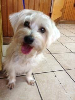 Maltese - Matthew - Small - Adult - Male - Dog