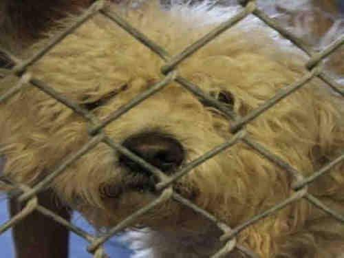 Poodle - A3247733 - Medium - Adult - Male - Dog