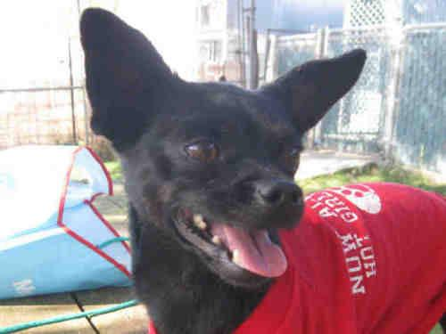 Chihuahua - A193203 - Small - Adult - Male - Dog
