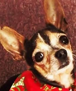 Chihuahua - Ibes - Small - Adult - Male - Dog