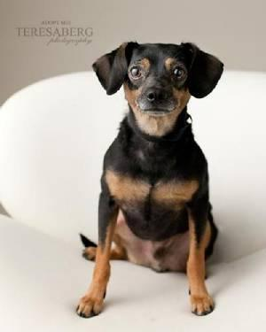 Dachshund - Herbie - Small - Adult - Male - Dog