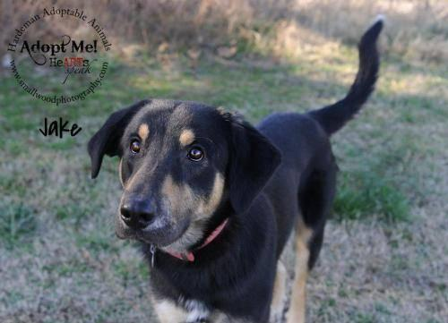 Shepherd - Jake - Large - Adult - Male - Dog