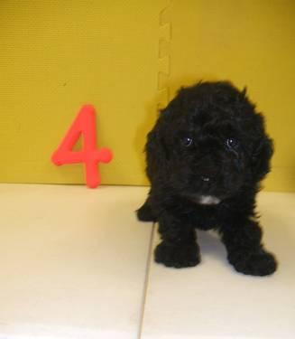 Cockapoo - Roscoe - Small - Adult - Male - Dog for Sale in