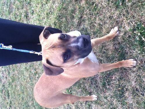 Boxer - Dozer - Medium - Adult - Male - Dog