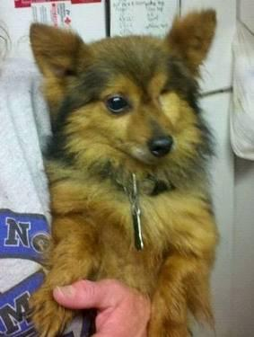 Pomeranian - Blaze - Small - Adult - Male - Dog