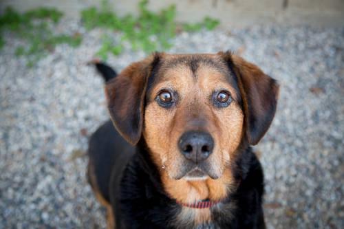 Dachshund - Leroy - Medium - Adult - Male - Dog