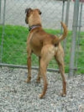 Boxer - Tuukka - Medium - Adult - Male - Dog
