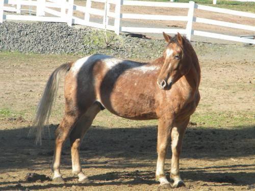 Appaloosa - Ulysses - Large - Adult - Male - Horse
