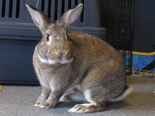 American - Stewie - Medium - Adult - Male - Rabbit