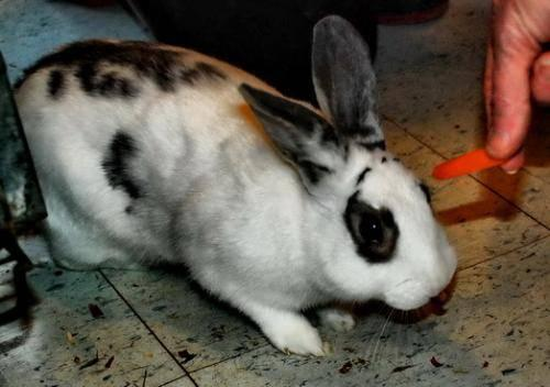 American - Bono - Medium - Adult - Male - Rabbit