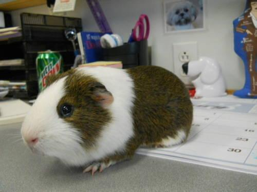 Guinea Pig - Mario - Small - Adult - Male - Small & Furry