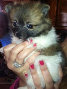 POMERANIAN FEMALE ADULT/still available