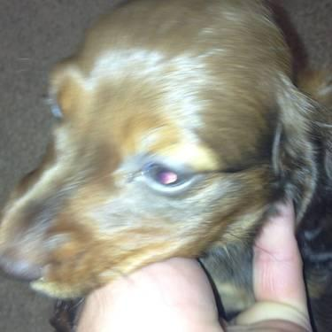CKC Miniature Dachshunds. All ages and colors