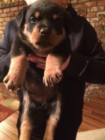 Rottweiler Puppies AKC-Gorgeous