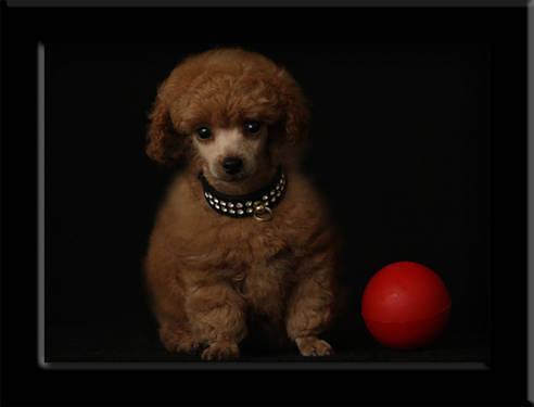 Poodle Puppy, AKC