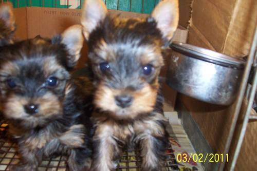 Yorkshire Terrier puppies very tiny AKC 8 wks old