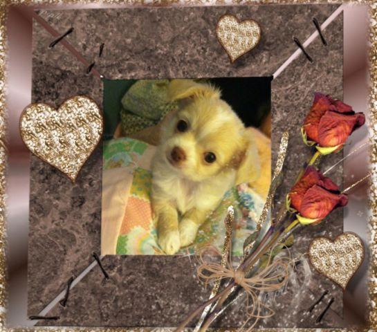CHOCOLATE for Valentine's day AKC Chihuahua female pup