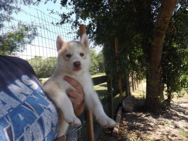 Siberian Husky Pups Dual Registered AKC/CKC 2 year Congenital Warranty