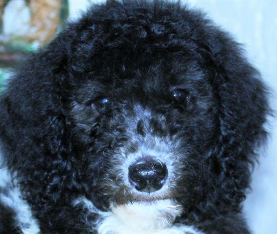 Standard Poodle Puppy For Sale Genuine AKC Male PARTI Silver & White