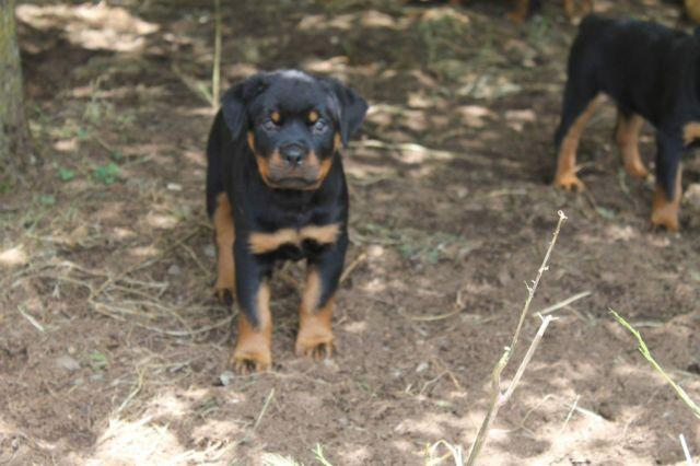 Beautiful 11 Week Old Akc Registered Rottweiler Puppies For Sale In