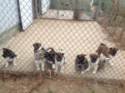 Adorable AKC Akita Puppies for Sale in Greens Fork, Indiana