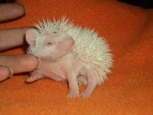 3 male Albino Hedgehogs