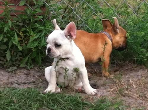 French Bulldog Pups all Girls