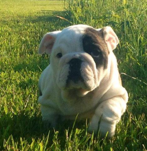 English Bulldog female almost 2