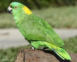 Yellow shoulder Amazon $550