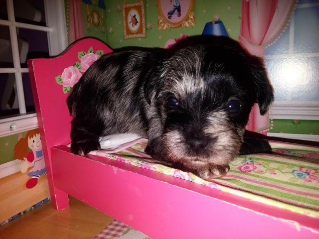 MSCA Merle Schnauzer Club of America Toy Miniature Schnauzer Puppies