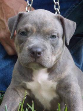 UKC PR REGISTERED AMERICAN PITBULL PUPS