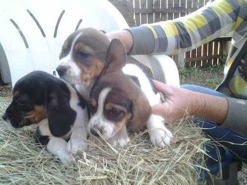 Beagle Pups Cute and Cuddly