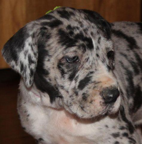 CKC--Great Dane puppies--some chocolates--male and female for sale