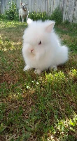 Purebred Holland Lop and Lionhead Bunnies