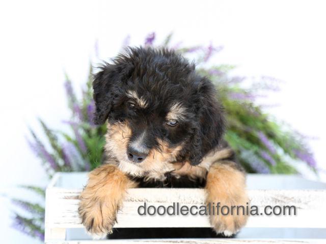 Bernedoodles Bernese Mountain Dog And Standard Poodle Mix