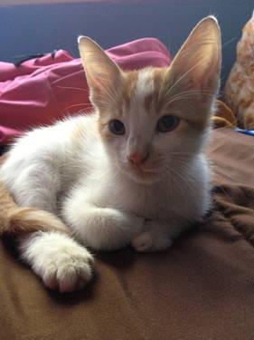 Adopt Sunny, Orange and White Kitten