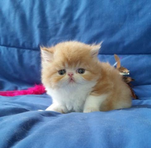 Two Very Nice Red Tabby and White Persian Boys Available