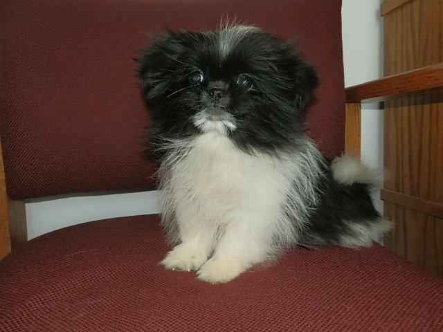 Sweet and Small Black and White SHIH-TZU female