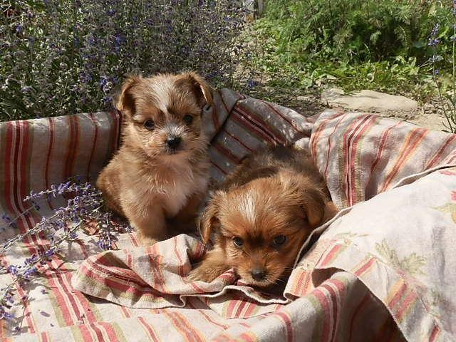 Tiny SHORKIE (Imperial Shih-tzu and Yorkie) Puppies!!
