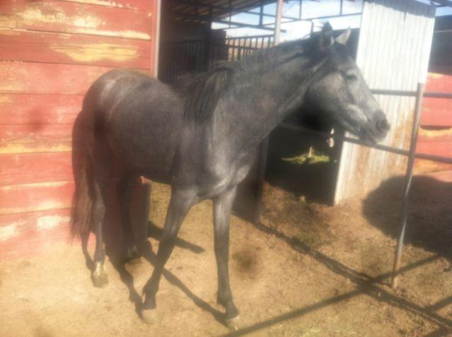 Beutiful registered Andalusian mare