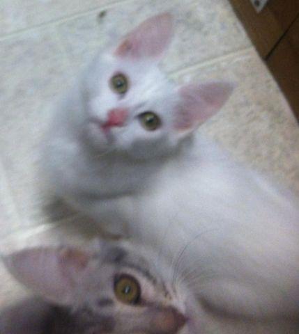 White Female Turkish Angora Kitten
