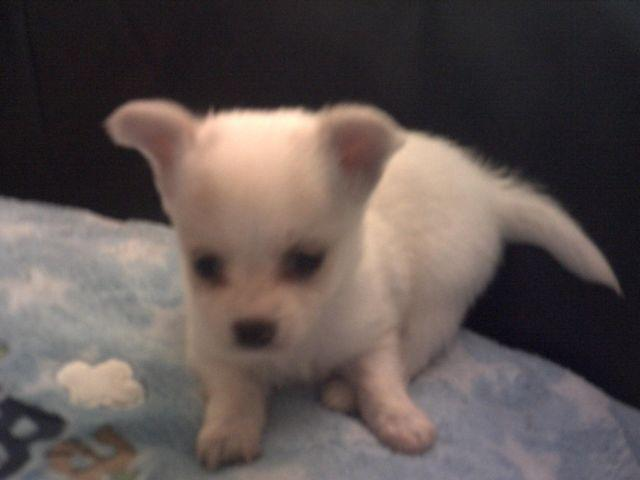 3 adorable chihuahua puppy - apple head , teacup/small toy