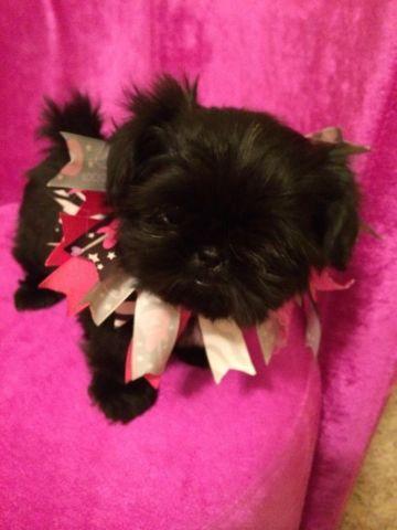 tiny female applehead chihuahua