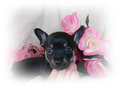 Gorgeous CKC Teacup Applehead Chihuahua Puppies for Sale in