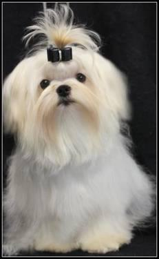 Standing at stud to approved Akc Maltese