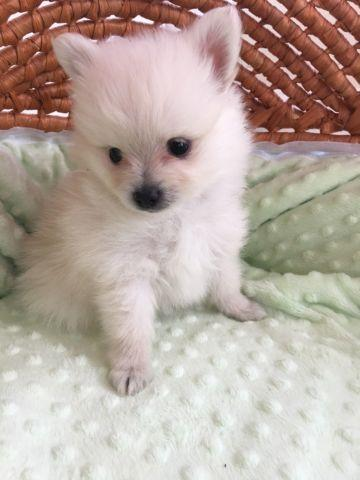 Cream Pomeranian Male Puppy, CKC / Apri Champ Lines - Tiny